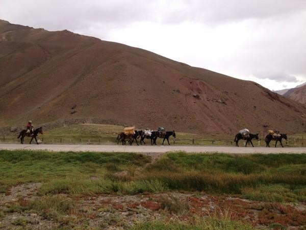 Mulas retornando do acampamento base do Aconcagua/Parque Provincial Aconcagua